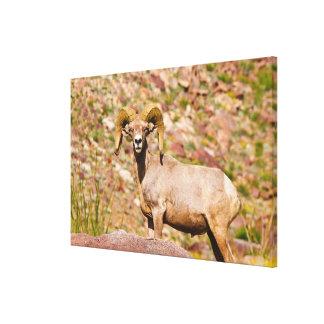 Peninsular Bighorn Sheep Canvas Print