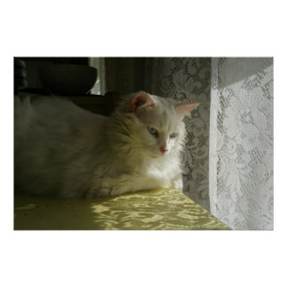 Pensive Doll Faced Persian Cat with Lace Poster