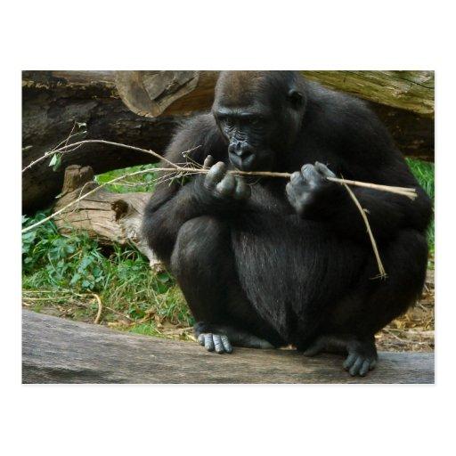 Pensive Gorilla Postcard