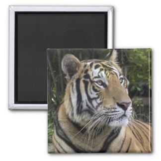 Pensive Tiger Magnet