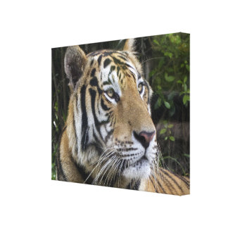 Pensive Tiger Wrapped Canvas Canvas Print