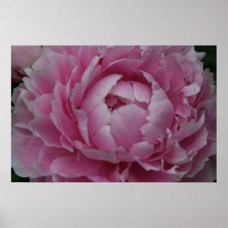 Peonies in Full Bloom Print