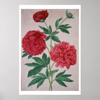 Peonies, plate 46 from the Nassau Florilegium (w/c Poster