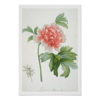 Peony, 1799 (colour stipple print) poster
