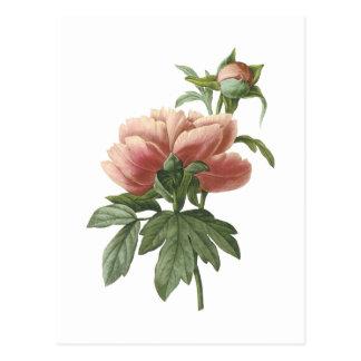 peony (Paeonia sp.) by Redouté Postcard