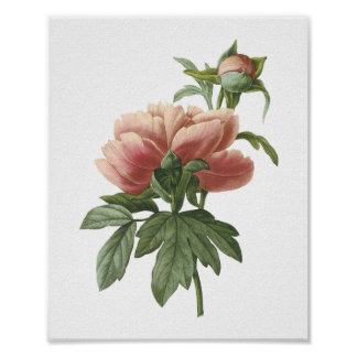 peony (Paeonia sp.) by Redouté Poster