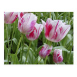 Peppermint Striped Tulips Post Card