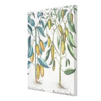 Peppers: 1.Piper Indicum filiquis flavis; 2.Piper Canvas Print