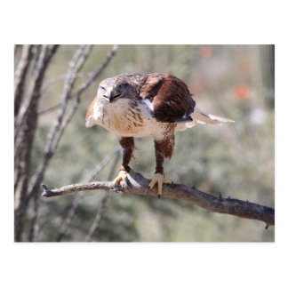 Perched Ferruginous Hawk Postcard