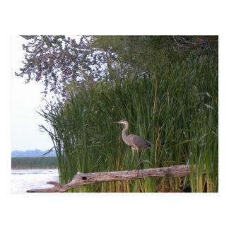 Perched Heron Postcard