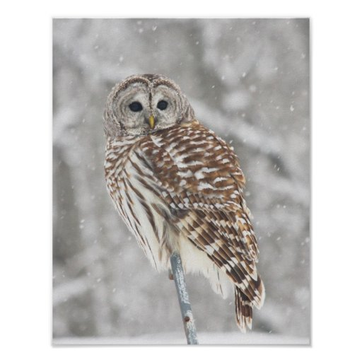 Perched Owl - Poster
