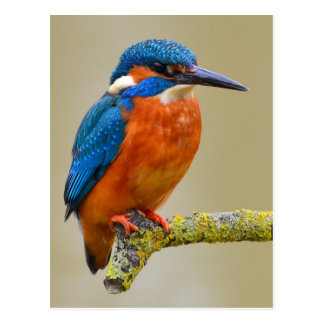 Perching Kingfisher Postcard