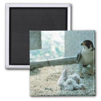Peregrine Falcon Chicks Female Refrigerator Magnet