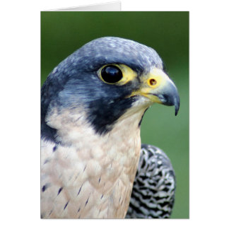 Peregrine Falcon Face Photo Card