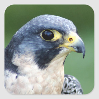 Peregrine Falcon Face Photo Square Sticker