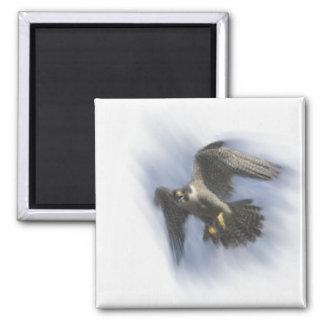 Peregrine Falcon in Flight Square Magnet