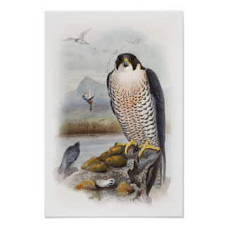 Peregrine Falcon John Gould Birds of Great Britain Poster