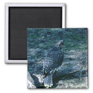 Peregrine Falcon, juvenile Magnets