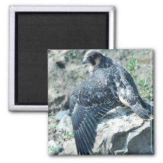 Peregrine Falcon, juvenile Square Magnet