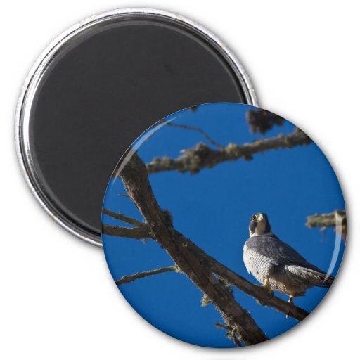 Peregrine Falcon Refrigerator Magnets