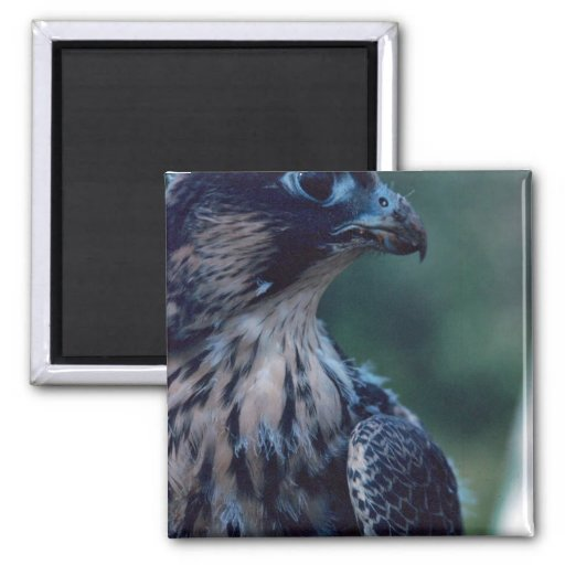 Peregrine Falcon Refrigerator Magnet