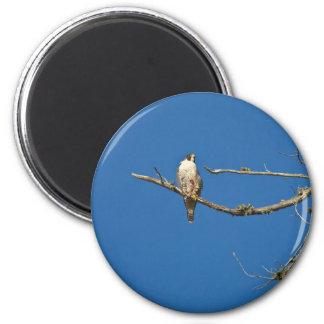 Peregrine Falcon Fridge Magnets