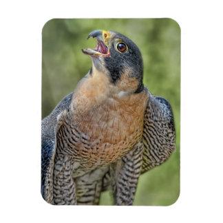 Peregrine Falcon Rectangle Magnets