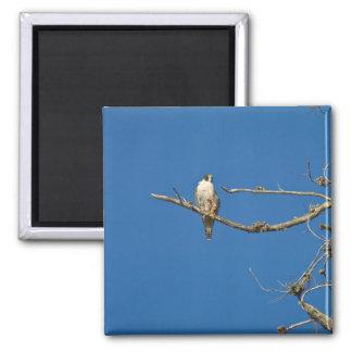 Peregrine Falcon Square Magnet