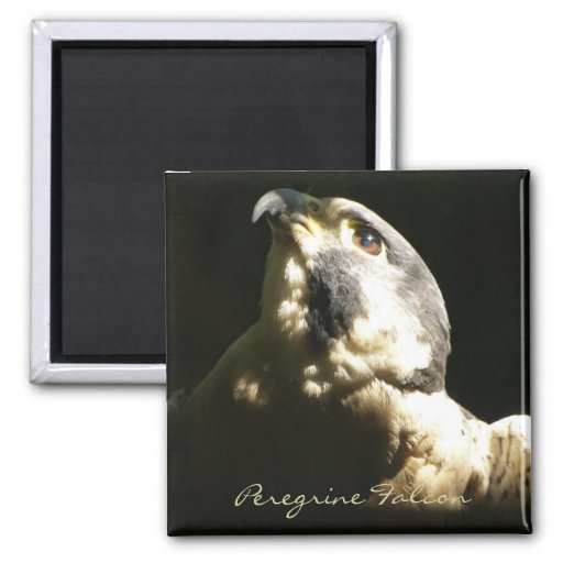 Peregrine Falcon - Wildlife Photo Portrait Refrigerator Magnet