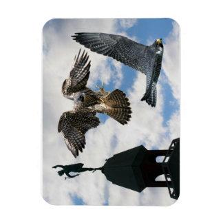 Peregrine Falcons in flight Magnet