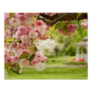 Perfect landscaping with blooming cherry tree in poster