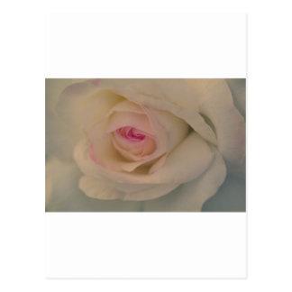 Perfect Rose Postcard