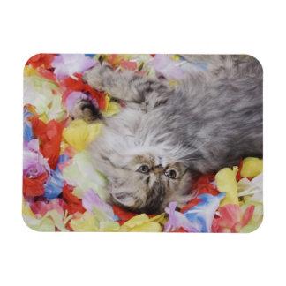Persian Cat, Felis catus, Brown Tabby, Kitten, 2 Rectangular Photo Magnet