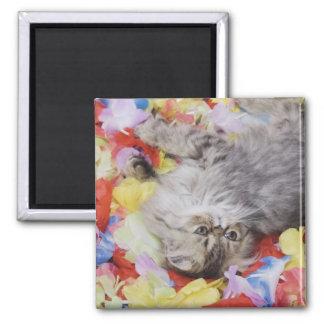 Persian Cat, Felis catus, Brown Tabby, Kitten, 2 Square Magnet