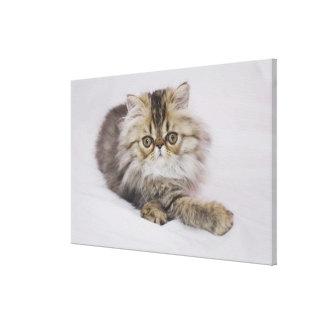 Persian Cat, Felis catus, Brown Tabby, Kitten, Canvas Print