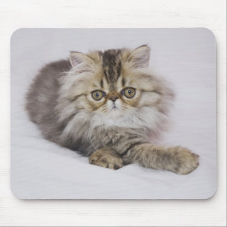 Persian Cat, Felis catus, Brown Tabby, Kitten, Mouse Mat
