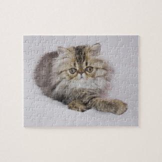 Persian Cat, Felis catus, Brown Tabby, Kitten, Puzzle