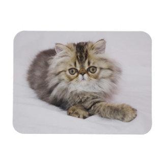 Persian Cat, Felis catus, Brown Tabby, Kitten, Rectangular Photo Magnet