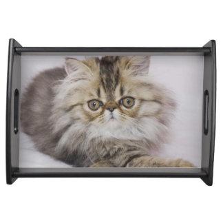 Persian Cat, Felis catus, Brown Tabby, Kitten, Serving Tray