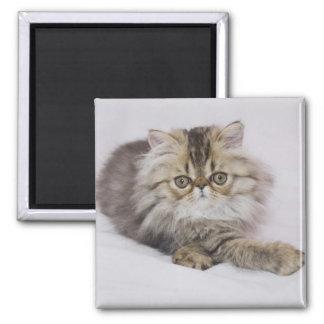 Persian Cat, Felis catus, Brown Tabby, Kitten, Square Magnet