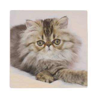 Persian Cat, Felis catus, Brown Tabby, Kitten, Wood Coaster