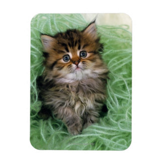 Persian cat; is one of the oldest breeds of cat. magnet