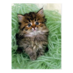 Persian cat; is one of the oldest breeds of cat. postcards
