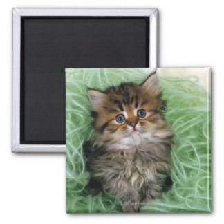 Persian cat; is one of the oldest breeds of cat. square magnet