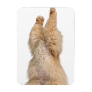 Persian playing (3 years old) rectangular photo magnet