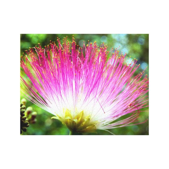 Persian Silk Tree Flower Canvas Print