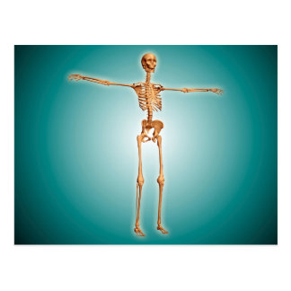 Perspective View Of Human Skeletal System Postcard
