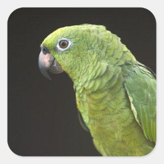 Pet parrot Macushi people Yupukari village Square Sticker