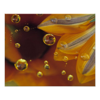Petals on Mylar reflective surface with drops. Poster