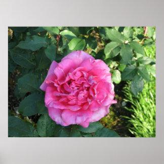 Peter Frankenfeld Hybrid Tea Rose 003 Poster